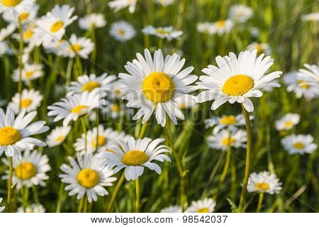 White Flowers In The Meadow