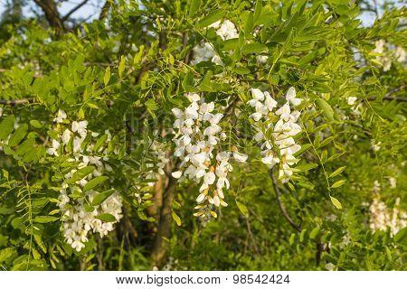 Flowers Robinia Pseudoacacia L. (black Locust)
