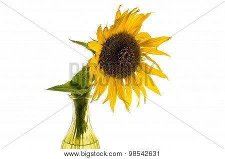 Yellow Flower Of Sunflower In A Vase Isolated