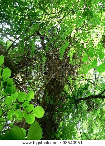 Lianas on tree