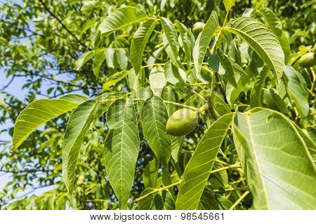 Leaves And Young Fruit Walnut