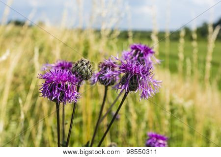 Centaurea Scabiosa L. (greater Knapweed)