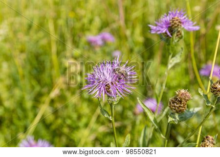Bee On A Flower Centaurea Jacea (brown Knapweed, Brownray Knapweed)