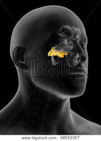 medically accurate illustration of the sphenoid sinus