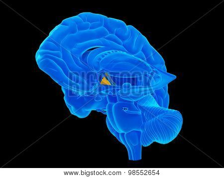 medically accurate illustration of the hypothalamus