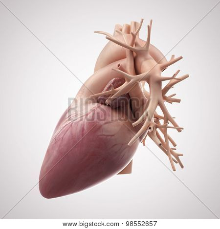 medically accurate illustration of the human heart