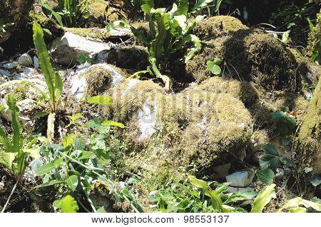 Yew-tree grove