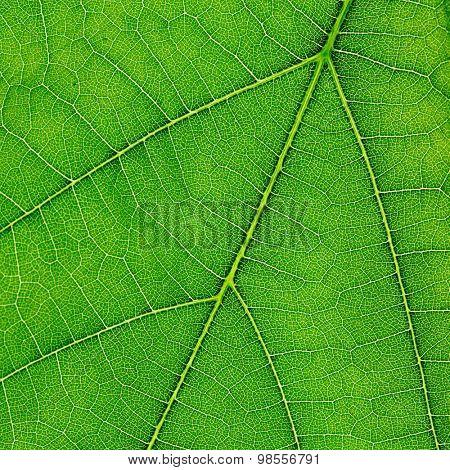 Fresh dreen leaf texture macro close-up