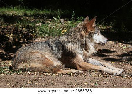 Eurasian wolf (Canis lupus lupus). Wild life animal.