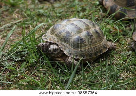 Russian tortoise (Agrionemys horsfieldii), also known as the Central Asian tortoise. Wild life animal.