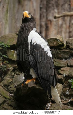 Steller's sea eagle (Haliaeetus pelagicus). Wild life animal.