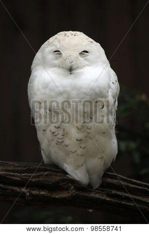 Snowy owl (Bubo scandiacus). Wild life animal.