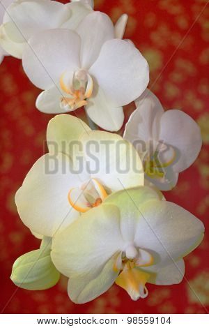 Fine Branch Of The White Orchid On The Red
