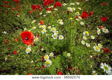 Field with red poppies and chamomile background