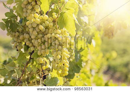 Yellow Sunny Grape