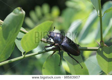 Stag-beetle female