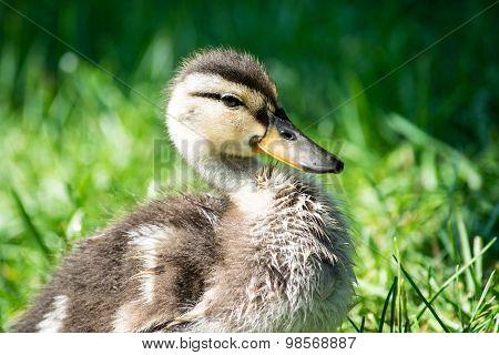 Cute baby duck in grass
