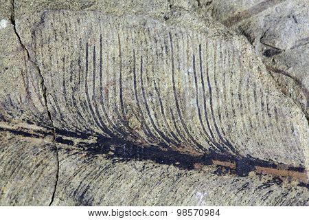 Fragile Fossil Plant Leaf