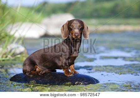 dachshund  dog sitting on a rock on the river, color brown