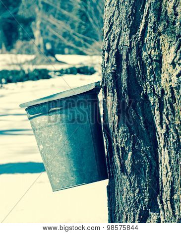 Vintage Effect Maple Syrup Bucket On Tree With Other Buckets In The Distance
