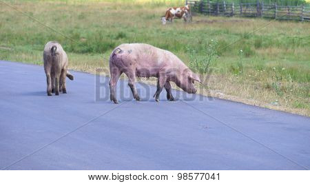 pigs crossing the road