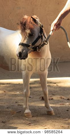 Mini pony held by a halter