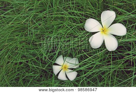 Plumeria Flower On A Background Of Green Grass.