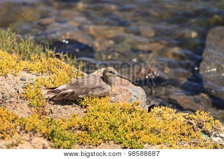 Brown willet shore bird, Tringa semipalmata