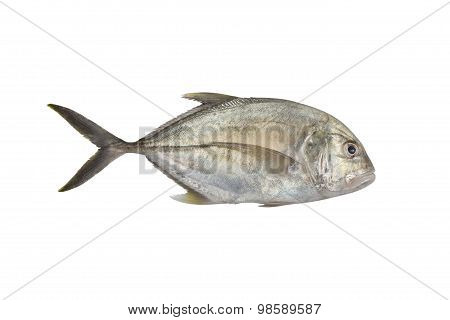 Giant Trevally, Lowly Trevally  Giant Kingfish (caranx Ignobilis)    Isolated On White With Clipping