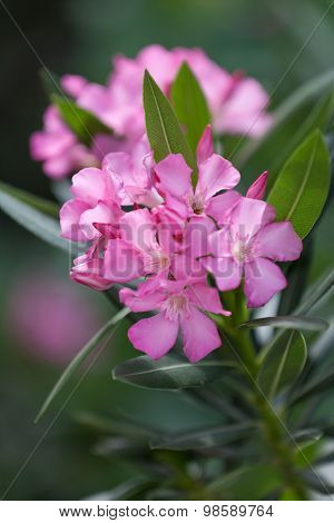 Pink oleander in blossom, shallow focus