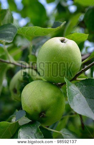 Ripening Apples On Tree.