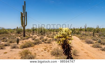 Saguaro and Cholla Cacti in the Arizona Desert
