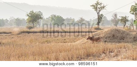 Brown Cow Eating Dry Grass On The Farm In Rural ,thailand.