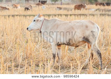 White Cow And Dry Grass Cattle On The Farm In Rural ,thailand