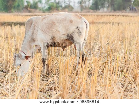 White Cow Eating Dry Grass On The Farm In Rural ,thailand