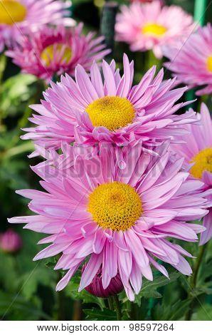 Flowering, Pink Chrysanthemum