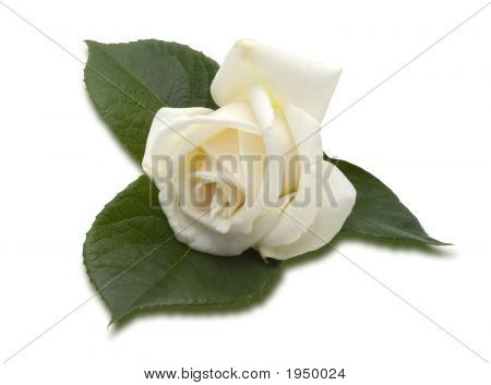Romantic White Rose (Clipping Path)