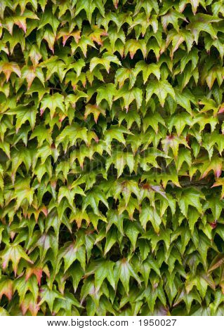Virginia Creeper (Parthenocissus Quinquefolia) On A Wall