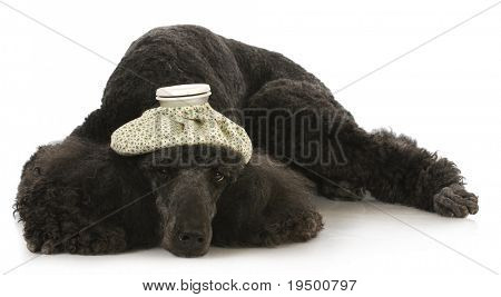 sick dog - standard poodle with hot water bottle on head laying down