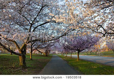 Caminho de flor de cerejeira