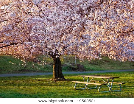 Bench Under Cherry Blossoms