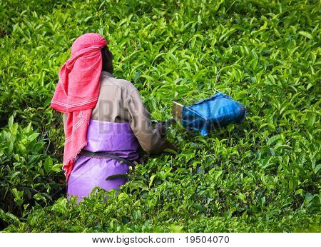 MUNNAR, INDIA - DECEMBER 7 : Woman picking tea leaves in a tea plantation,  Munnar is best known as India's tea capital.  December 7. 2010 - Munnar, Kerala, India