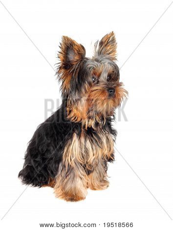 Sweet puppy Yorkshire Terrier
