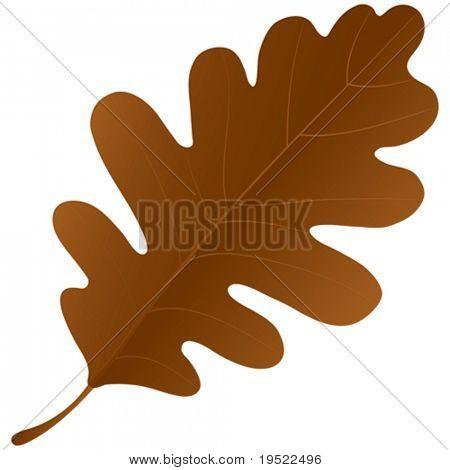 Autumn oak leaf isolated over a white background.