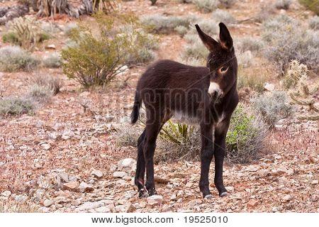 Burro Donkey Foal In Nevada Desert