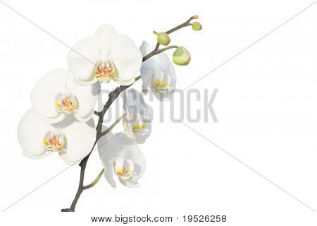 stem of white orchids - isolated on white