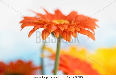single daisy on fresh sky background - side view - very narrow DOF