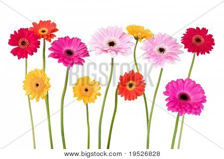 colorful daisies isolated on white background