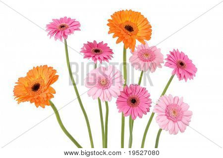 colorful gerber daisies isolated on white