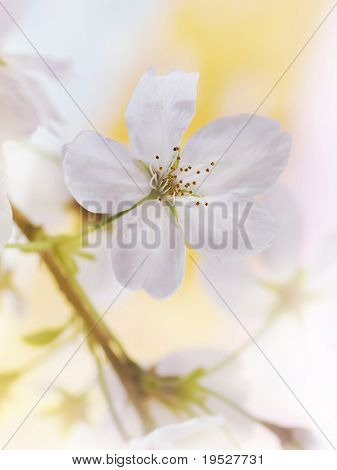close-up of white blossom flower on branch for spring